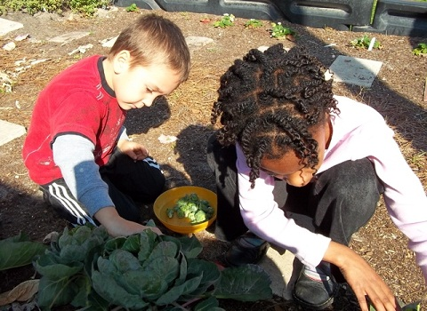 Two young elementary school boys working together to plant cabbage in a garden.