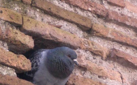 A pigeon sitting in a hole in the wall of an old red brick building with crumbling mortar.
