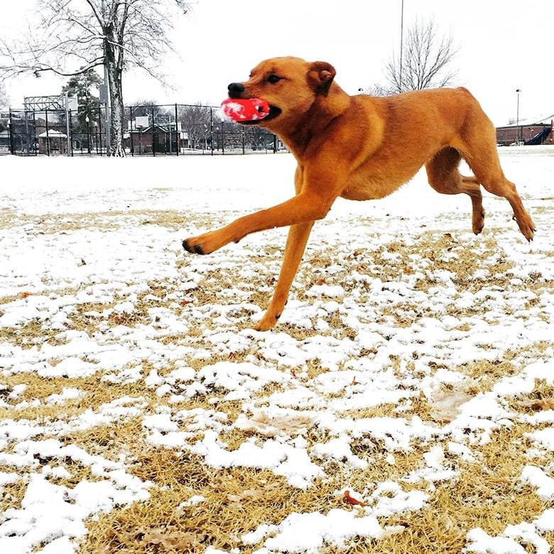 A brown dog running across a snowy field.