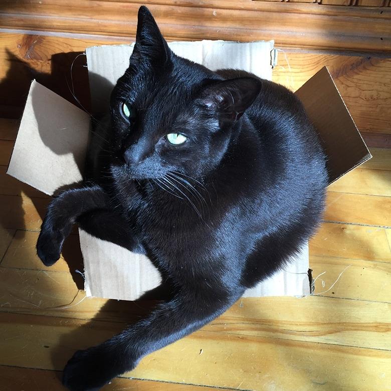 A black cat sitting in a box.